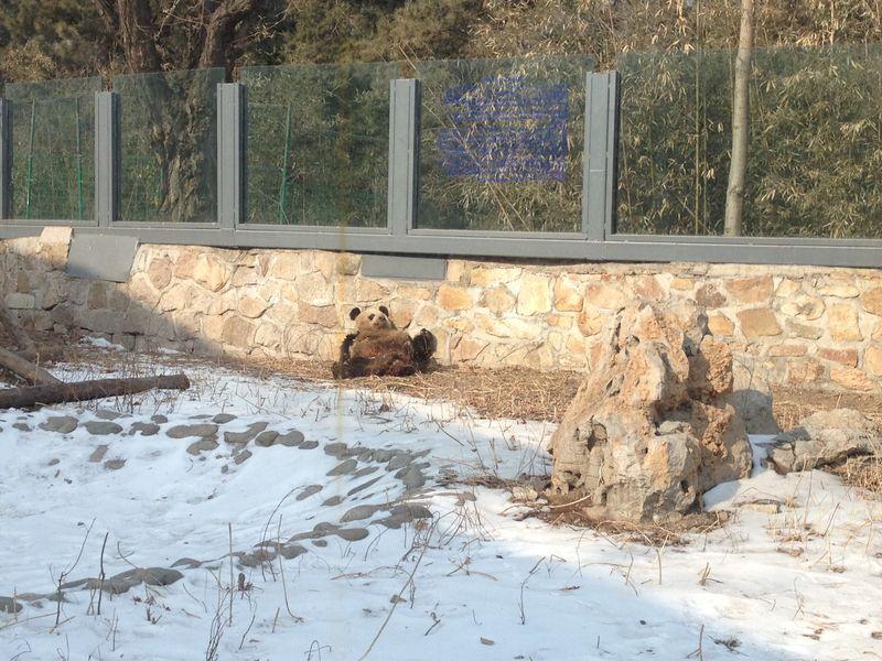 Panda's in Beijing